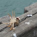 Wyłowiony krab