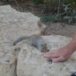 Å»ebrząca wiewiórka
