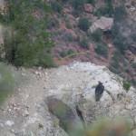 Kondor na skale